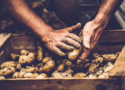 Dirty hands picking potatoes